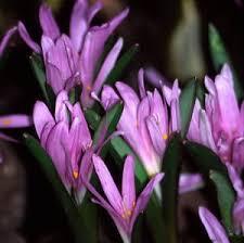 Bulbocodium - vernum