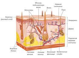 Строение и функции кожи Строение кожи