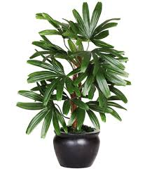 The Green Team Air Purifier Live Rabish Palm Both Indoor Plant.  serviceCentreDetails