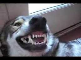 baring teeth dog. baring teeth dog