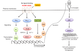 Gpcr Signaling Schematic Diagram Of Gpcr Signaling Pathways Activated By