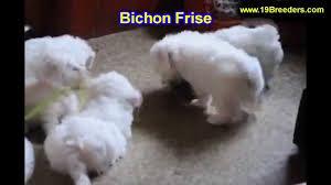 bichon fise puppies in orlando florida fl deltona melbourne palm coast