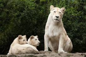 newborn white lion cubs. Wonderful Newborn Female White Lion With Two Newborn Cubs The Is A Colour  Mutation In Newborn White Lion Cubs E