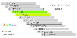 Trifolium spumosum [Trifoglio spumoso] - Flora Italiana
