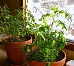 indoor tomato garden. Grow Vegetables Indoors Indoor Tomato Garden