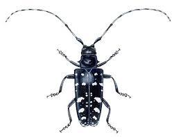 Asian Longhorned Beetle