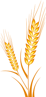 wheat drawing. Fine Drawing Ear Wheat Drawing Cereal Maize Throughout
