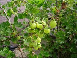 Hybrid Fruit Trees For Sale