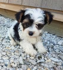 yo chon puppy for in arthur il usa