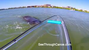 Transparent Canoe Kayak Uh Oh Fast Moving Manatee Barely Misses The See Through Canoe