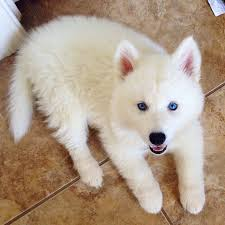 fluffy white husky puppy. Interesting White Sweet Little Dog With His White Fur Pink Ears And Beautiful Blue Eyes And Fluffy White Husky Puppy R