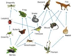 food web pyramid what is the definition of a food chain a food web and a food