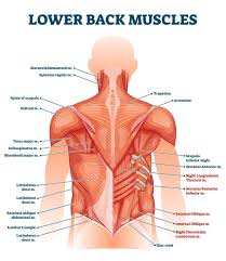 It is widely believed that there are 100 organs; Lower Back Muscle Anatomy And Low Back Pain