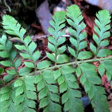 Polystichum dudleyi DUDLEY'S SHIELD FERN | Polystichum dudle… | Flickr