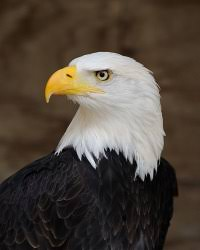Small Picture A to Z Kids Stuff American Bald Eagle