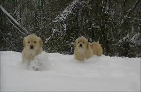golden retriever puppies playing in snow. Wonderful Snow On Golden Retriever Puppies Playing In Snow P