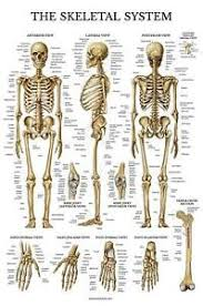 Laminated Anatomical Charts Details About Skeletal System Anatomical Chart Laminated Human Skeleton Anatomy Poster