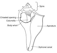 Diagram clam dissection diagram image of clam dissection diagram large size at clam in fish tank