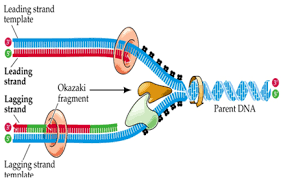 Dna Replication Definition Dna Replication Simple Steps Of Dna Replication In E Coli Basic Notes