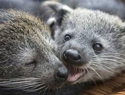 Small Picture 14 best Bearcats Binturong images on Pinterest Animals Animal