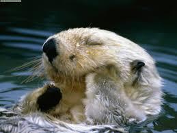 Канада Реферат от История Страница  М орските видри живеят във водите близо до скалистите брегове на Канада и Аляска Прекарват повечето време в морето носейки се по гръб върху водата