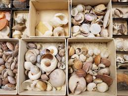 Details About Antique Seashell Collection In Old Glass Case Estate Fresh