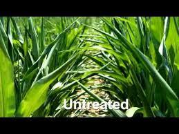 Quilt Xcel Fungicide Early Benefits in Corn - YouTube & Quilt Xcel Fungicide Early Benefits in Corn Adamdwight.com