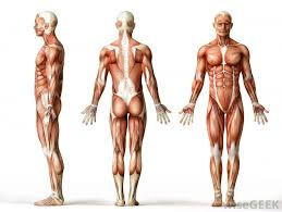 Published december 28, 2017 at 768 × 1024 in so…what can you feel or move? How Many Muscles Are There In The Human Body With Pictures