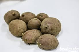 Озеленение картофеля ХитАгро ru Тепловой шок или как и для чего озеленять семенной картофель
