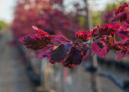 tricolor beech trees garden gate nursery