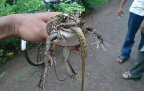 king cobra snake eating.  Snake Frog Eating Snake Intended King Cobra Snake Eating O