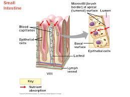 absorption in the small intestine villi