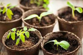 you might have seen that dark brown fibrous material called peat moss in your father s garden or any nursery and garden s