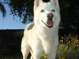 white husky wolf mix with blue eyes. Simple Mix Blue Eyed Siberian Husky Twin Sister Of Phantom Image With White Wolf Mix Blue Eyes
