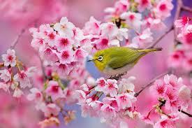 """Résultat de recherche d'images pour """"photo japon massage sakura"""""""