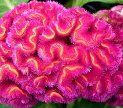 this is celosia cristata monly known as s b because the flower head looks like a rooster s crest before it fills out to the brain shape