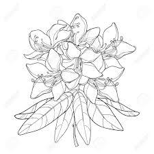 概要シャクナゲや白い背景に分離された高山のバラの花と分岐します山の束は花し夏ハーブ