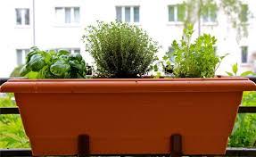 herbs perfect for a balcony garden