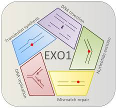 Ijms Free Full Text Human Exonuclease 1 Exo1 Regulatory