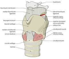 Larynx Chart Larynx Useful Notes On Larynx Human Anatomy