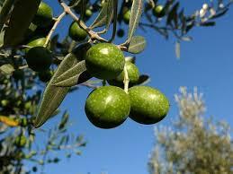 """Résultat de recherche d'images pour """"gifs branche d'olivier"""""""