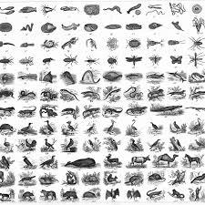 Raccoon Classification Chart Linnaean Classification System Scientific Names
