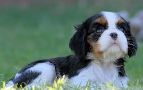 tricolor cavalier king charles spaniel puppies. Tri Color Cavalier King Charles Spaniel In Tricolor Puppies