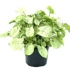 common house plants images common household plants with pictures household plants poisonous houseplants for dogs plants