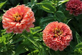 average american flower size growing annual flowers from seed gardeners supply
