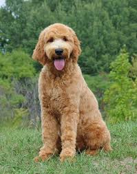 Best Dog Food For Goldendoodles Puppies Adults Seniors
