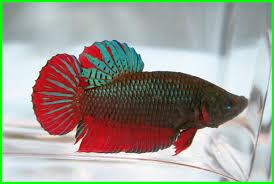 Ciri Ciri Ikan Cupang Avatar Asli