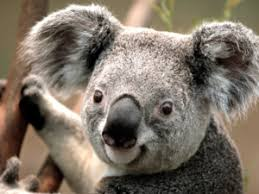 koala fun facts for kids n animals koalas koala fun facts for kids n animals