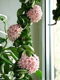 Pink waxy flowers, twisted leaves on Hindu Rope Plant Click to Enlarge