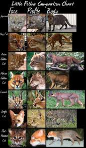 Wild Cats Species Comparison Chart Small Cats By Hdevers